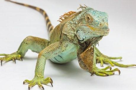 iguana-1057830__340
